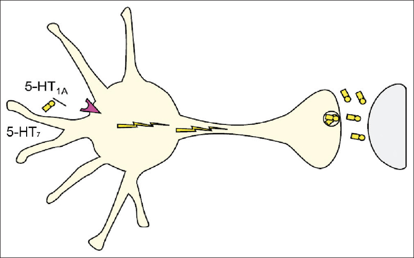 Figure 1: The somatodendritic regions containing the serotonergic 5-HT<sub>1A</Sub> and 5-HT<sub>7</Sub> autoreceptors are located predominantly at the midbrain raphe nucleus which is highly rich in serotonergic neurons. The terminal presynaptic regions of their projected axons synapse with different cortical (prefrontal cortex) and subcortical (hippocampus, mesolimbic cortex, basal ganglia, and hypothalamus) areas of the brain to mediate different serotonergic neurotransmission signals in different neuropsychiatric disorders. The synergistic influence/combination of the full antagonism of the somatodendritic serotonergic 5-HT<Sub>7</Sub> autoreceptor by an atypical antipsychotic and the partial agonism of the somatodendritic serotonergic 5-HT<Sub>1A</Sub> autoreceptor by an atypical antipsychotic in the presence of selective serotonin reuptake inhibitor or serotonin–norepinephrine reuptake inhibitor or noradrenergic α<sub>2</Sub>-receptor antagonist with specific serotonergic receptors-2 and  -3 antagonism or tricyclic antidepressant will enhance and produce fast disinhibition of the serotonergic neurotransmission signals from the midbrain raphe nucleus toward the prefrontal cortex, hippocampus and mesolimbic cortex, basal ganglia, and hypothalamus to mediate its respective therapeutic actions in depressive disorders, panic disorder, obsessive–compulsive disorder, and binge-eating disorder (bulimia nervosa); as the somatodendritic serotonergic 5-HT<sub>7</Sub> and 5-HT<sub>1A</Sub> autoreceptors desensitization phenomenon has been bypassed by the full antagonistic and the partial agonistic (weak-mixed agonistic-antagonistic) effects of these two autoreceptors, respectively. That is, an atypical antipsychotic disinhibits different serotonergic neurotransmission signals from the midbrain raphe nucleus in different neuropsychiatric disorders to turn on serotonin neurotransmitter release from the terminal presynaptic regions in different cortical and subcortical areas